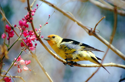 Western tanager.  Arizona.