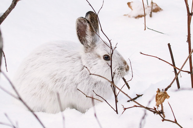 Close Encounter with a Snowshoe Hare 15