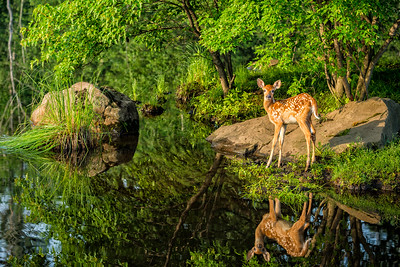 USA, Minnesota, Sandstone, Minnesota Wildlife Connection. White-tailed deer fawn and foliage reflected in the water.