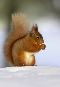 Red squirrel on snow