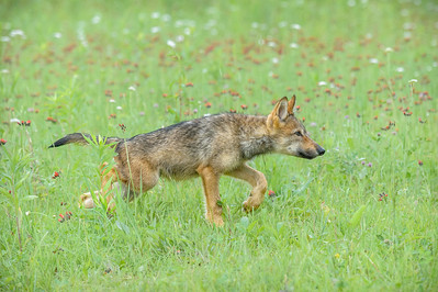 USA, Minnesota, Sandstone, Minnesota Wildlife Connection.   Grey wolf  pup hunting in the grass with wildflowers.