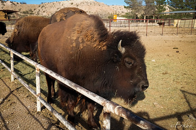 Indian Cliffs Ranch : Bison