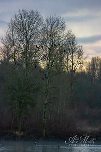 Bald Eagle Tree
