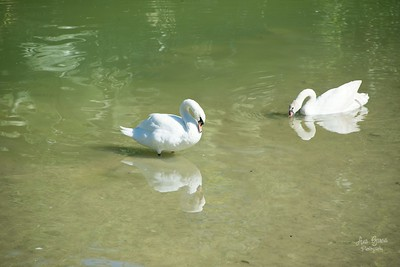 Swans at Pinecrest Gardens