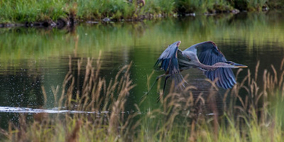 Spring Blue Heron Evergreen Lake