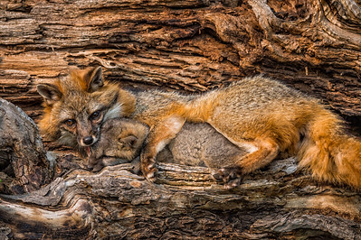 USA, Minnesota, Sandstone, Minnesota Wildlife Connection.  Grey fox in log with paw around kit