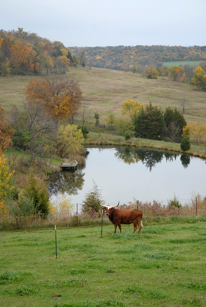 Long Horned Cow outsize Elizabeth, IL on Terrapin Ridge
