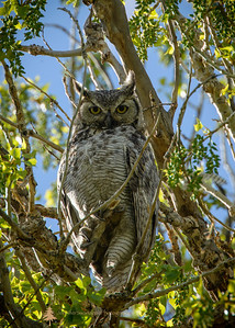 Thanks to Annie and Len I enjoyed capturing this owl's image despite the shade and the surrounding branches.  If I were an animal I think I'd enjoy being an owl.