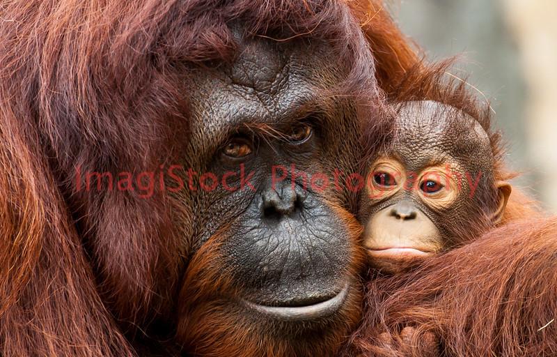 100130 - 0907 Orangutan & Offspring