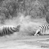 <strong><center><b> Sand-bathing Zebras.