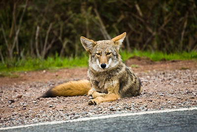 Coyote in GGNRA.