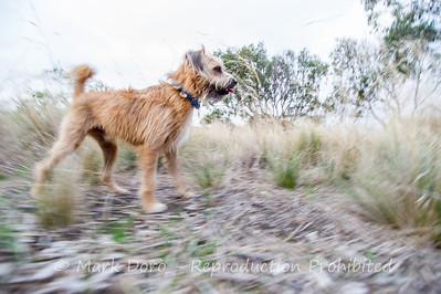 Monty stalking Quail