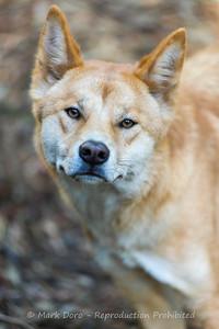 Dingo portrait