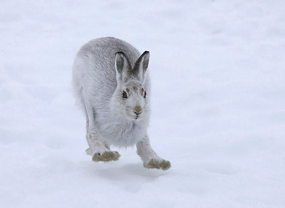 Mountain hare flat out