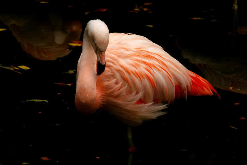 Pink flamingo in a reflective pool.