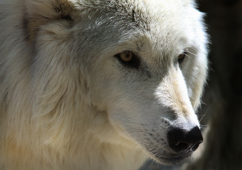 """  White Fang the Timber Wolf  ""  2"