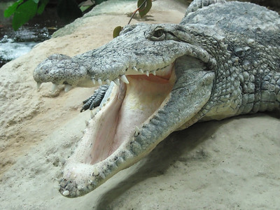 a crocodile with open mouth lying next to a river.