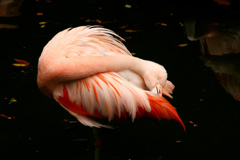 Is she playing peek-a-boo? The flamingo peeks out from beneath her pale pink wing.