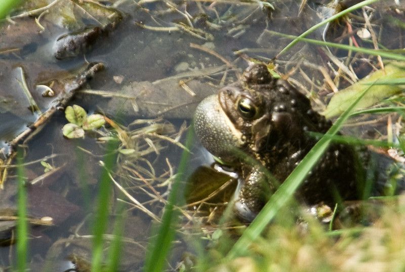 Croaking Toad
