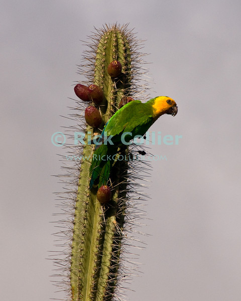 """Bonaire, Netherland Antilles -- The yellow-shouldered parrot is indigenous to Bonaire.  It is a protected species but is nonetheless endangered.   © Rick Collier<br /> <br /> <br /> <br /> <br /> Bonaire; """"Netherlands Antilles""""; Caribbean; tropic; tropical; vacation; destination; wildlife; fauna; bird; parrot; """"yellow head""""; """"yellow-headed parrot""""; parakeet; """"yellow-shouldered parrot"""";"""