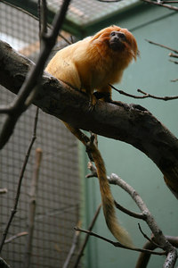 Golden Lion Tamarin.  Taken at the National Zoo in Washington DC.