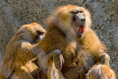 A pair of guinea baboons grooming at the Indianapolis Zoo., USA, , Indianapolis ,IN.