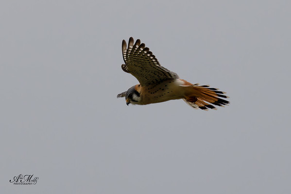 American Kestrel (Sparrow Hawk)