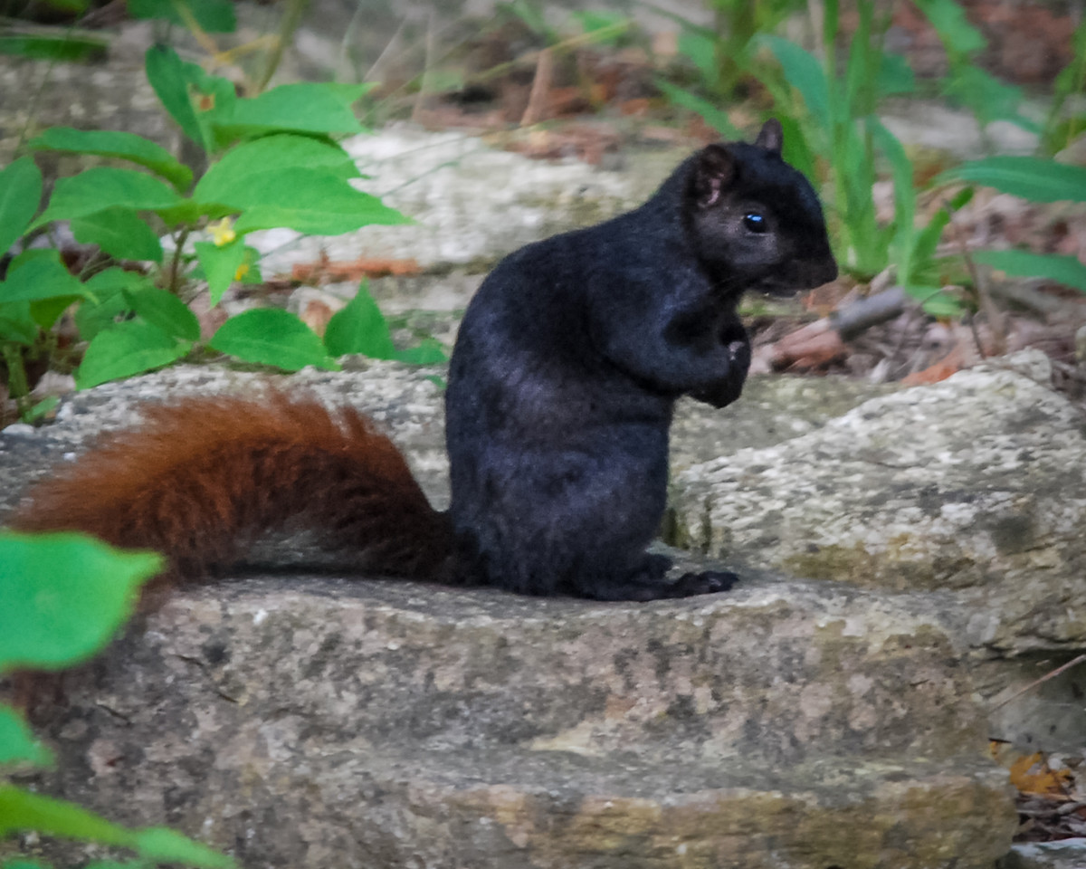 Black Squirrel With Brown Tail
