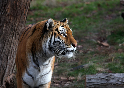 Siberian tiger at the Bronx Zoo