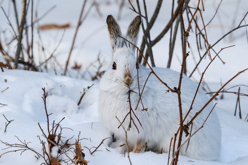 Snowshoe Hare Eating Lunch 3