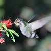 Hummingbird captured in Tohono Chul Park in Tucson Ariaona.