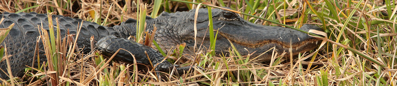 Alligator at Loxahatchee National Wildlife Refuge, Florida.