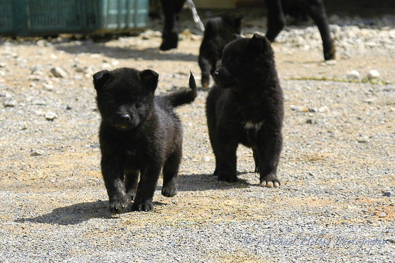 Puppies - Okinawa Prefecture