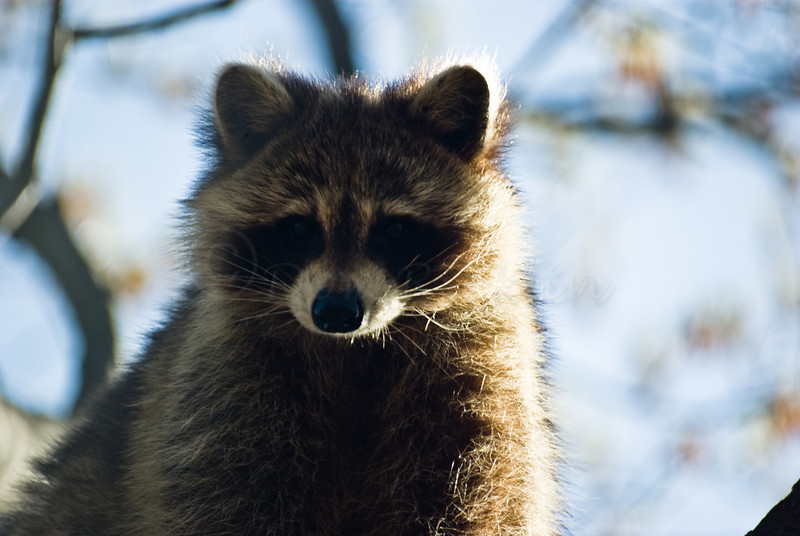 Rocky Raccoon.