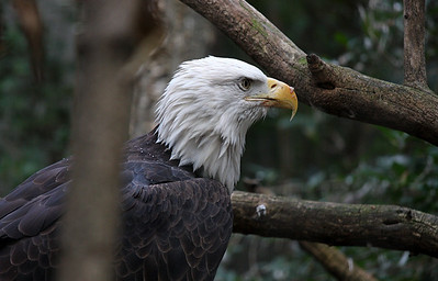 Bald Eagle at the Bronx Zoo