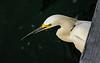 100706 - 2875 Snowy Egret