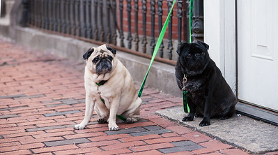 cute pug dogs