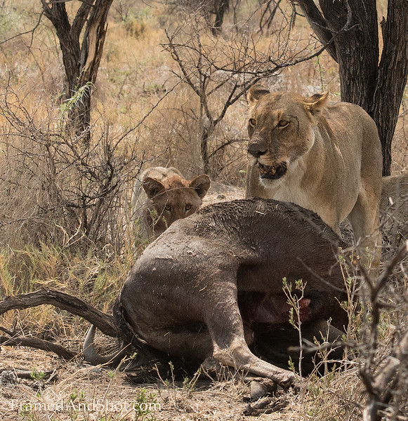 <em><strong><center><b>Time for breakfast....  Early morning and a lioness has killed a wildebeest, It is breakfast-time!