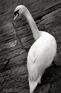 Standing Swan