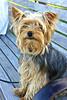 Hyannis Docks Shopkeepers Dog.jpg