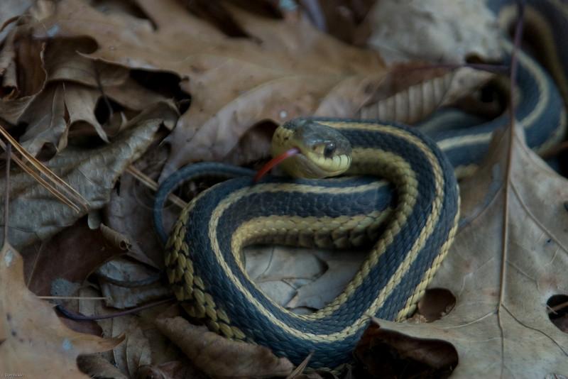 Mega Garter Snake