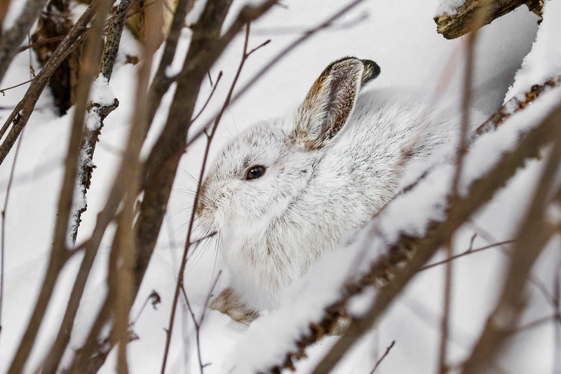 Close Encounter with a Snowshoe Hare 19