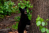 -4128,  Black Bear Cub takes a look around before climbing up to the safety of a tree branch.