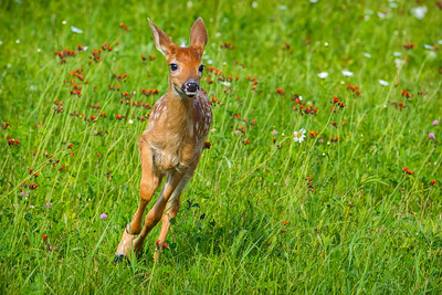 USA, Minnesota, Sandstone, Minnesota Wildlife Connection. White-tailed deer fawn running in the grass with wildflowers.