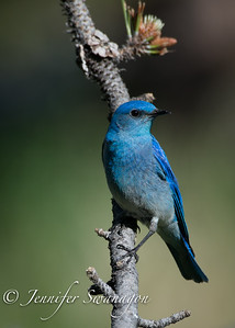 Mountain bluebirds enjoy spring and summer in the mountain areas of Colorado.