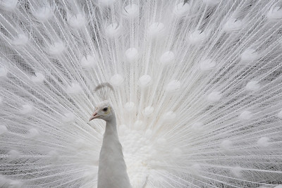 The resident white peacock at the Church of St. John the Divine in Manhattan.