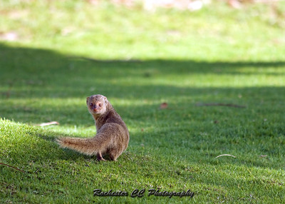 Mongoose in Oahu, Hawaii