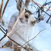 Snow Bunny   3