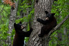 20090616-IMG_4149-<br /> Wild Black Bear Cubs finding security in a tree in Northern Minnesota.
