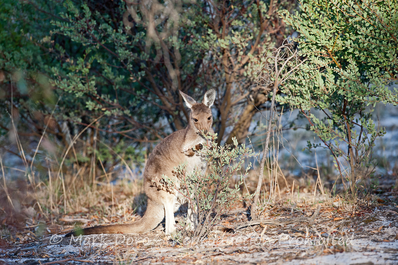 Eastern Grey Kangaroo, Little Desert, Victoria